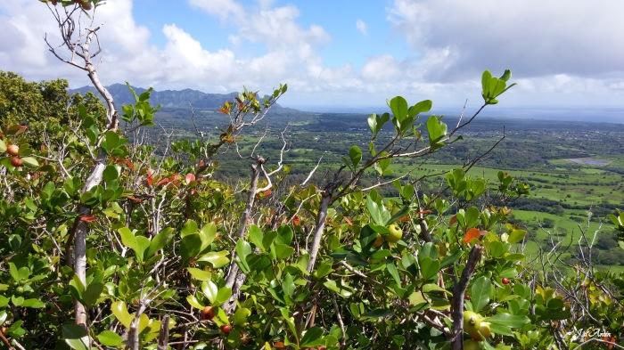 Guava-Kauai