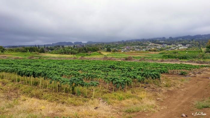 Kale @ Maui Nui